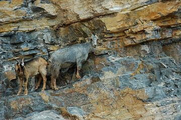 2 Goats on the Rocks, Please... van Gunther de Boer