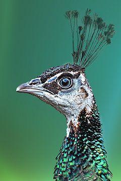 Mrs. Peacock van Fotografie Jeronimo