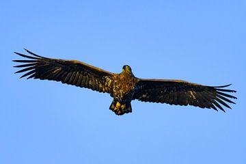 Pygargue à queue blanche ou aigle de mer sur Sjoerd van der Wal