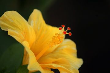 eine Lilie von Santorini Griechenland aus nächster Nähe von ticus media