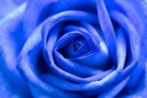 Blauwe roos.