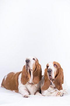 Basset-Hunde Otis und Bibi von Janine Bekker Photography