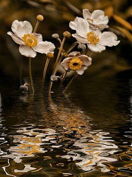 Herbstwasser - Herbstanemone von Christine Nöhmeier