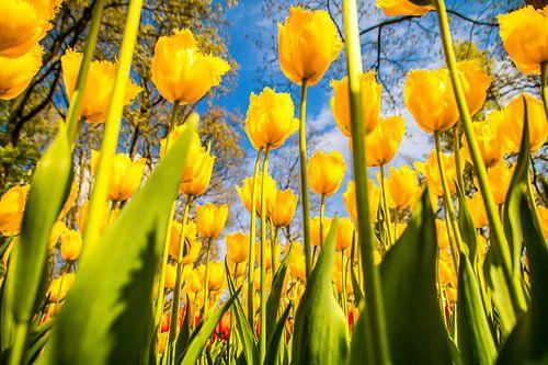 Gele fleurige tulpen