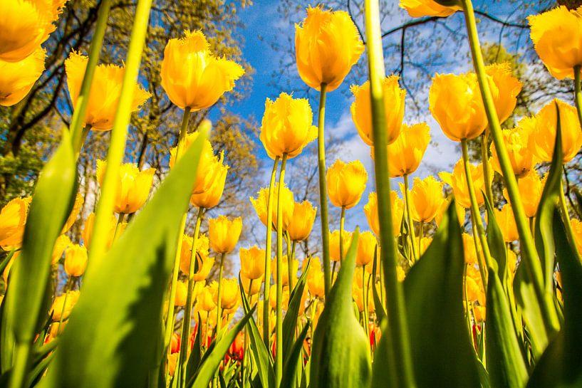 Gele fleurige tulpen van Koop je Canvas