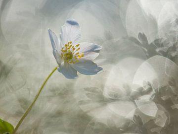 Bosanemoon van Elles Rijsdijk