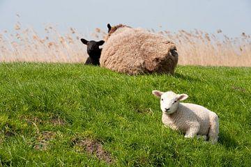 Schapen met lam op de dijk van Ivonne Wierink
