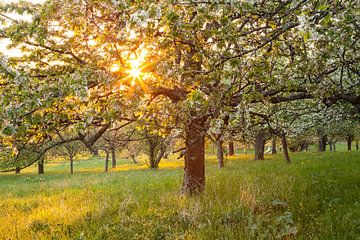 """"""" bloemendroom """" kersenbloesem in de zonsondergang van Jiri Viehmann"""