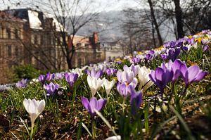 Frühling in der Stadt - Krokus Frühlings Wiese
