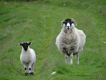 Schotse Blackface schaap met Lam van Globe Trotter