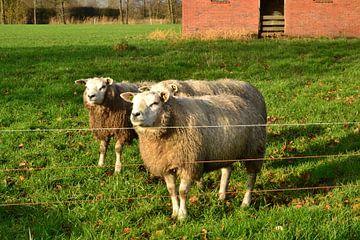 Schafe in der Mittagssonne von Mark van der Werf