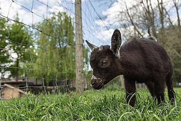 Pasgeboren geitje bij de kinderboerderij Minnebeek (Roosendaal) van Fotografie Jeronimo