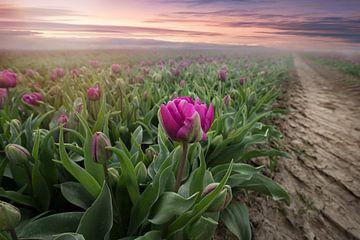 Tulpen auf dem Gebiet von Kristof Ven