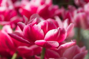 Roze tulp, gemaakt in Lisse van Wendy Tellier - Vastenhouw