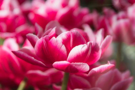 Roze tulp, gemaakt in Lisse