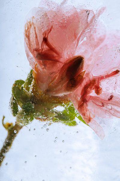 Azalee in kristallklarem Eis 3 von Marc Heiligenstein