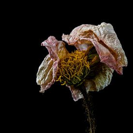 Stillleben getrocknete Blume von Steven Dijkshoorn