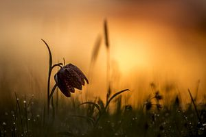 Bedauwde kievitsbloem bij zonsopkomst