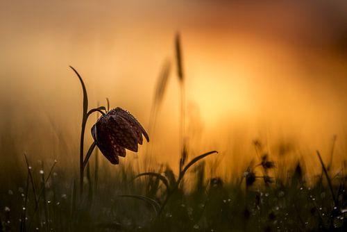 Bedauwde kievitsbloem bij zonsopkomst van