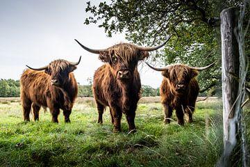 Schottische Highlander in Uffelte von S van Wezep
