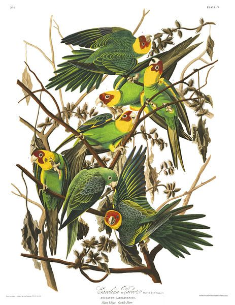 Carolina Papagaai van Birds of America