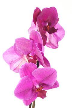 Paarse phalaenopsis orchidee van Egon Zitter