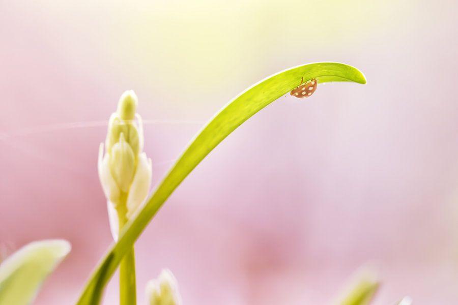 Meeldauwlieveheersbeestje van Arja Schrijver Fotografie