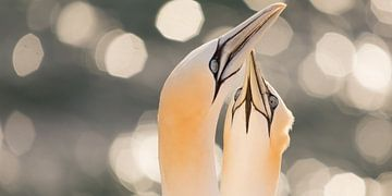 Vogels | Jan-van-genten tijdens zonsondergang hoog boven zee van Servan Ott