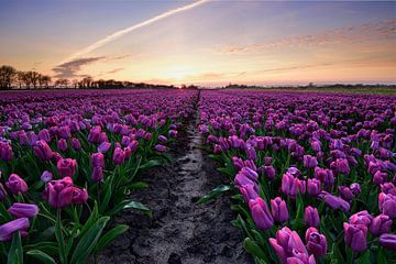 Fuchsia tulpenveld bij zonsondergang van John Leeninga