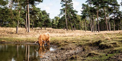 Een Schotse hooglander drinkt uit een bos meertje