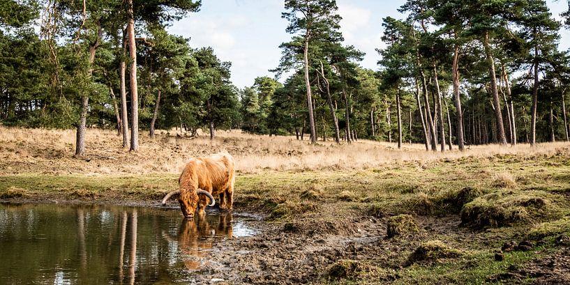 Ein schottischer Highlander trinkt aus einem Waldsee von MICHEL WETTSTEIN