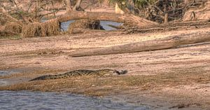 Croc Eats Catfish
