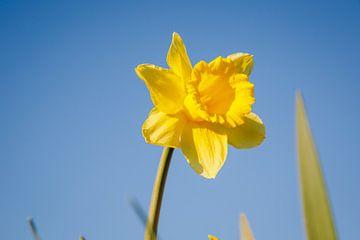 Narzisse in den ersten Sonnenstrahlen, es ist gerade wie Frühling in Almere I | Bunte Frühlingsblume von Evelien Lodewijks