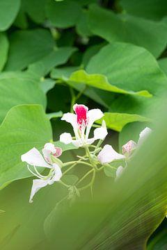 Weiße rosa Orchidee von Diane Bonnes