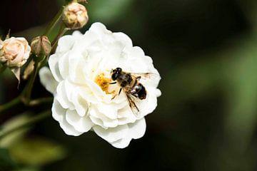 Bienenfliege auf Schuppen von hetty'sfotografie