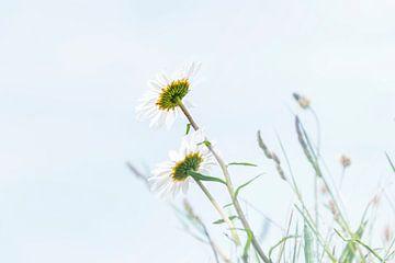 Gänseblümchen in der Sonne von Anouschka Hendriks
