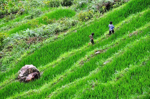 Spelende kinderen in rijstveld