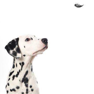 Dalmatian hond kijkt naar een zwevend veertje van Elles Rijsdijk