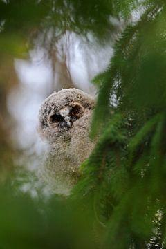 Ransuil ( Asio otus ), jonge vogel die zich in het groen verstopt, kijkt nieuwsgierig uit, grappig b van wunderbare Erde