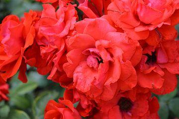 Rode bloemen van Edith Martens