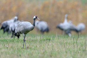 Kranich ( Grus grus ), kleiner Trupp bei der Rast während des Vogelzuges im Herbst, wildlife, Europa