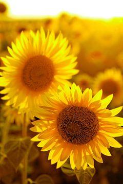 zonnebloemen sur Paul Piebinga
