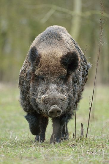 Wild Boar,  impressive strong male with huge tusks
