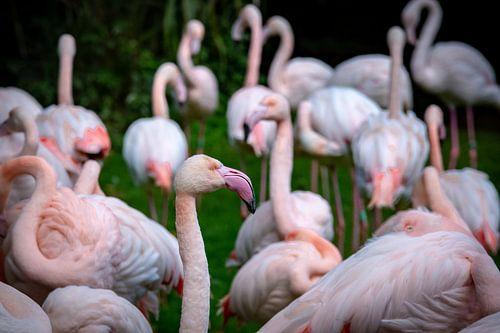 Flamingo von Kevin Vervoort