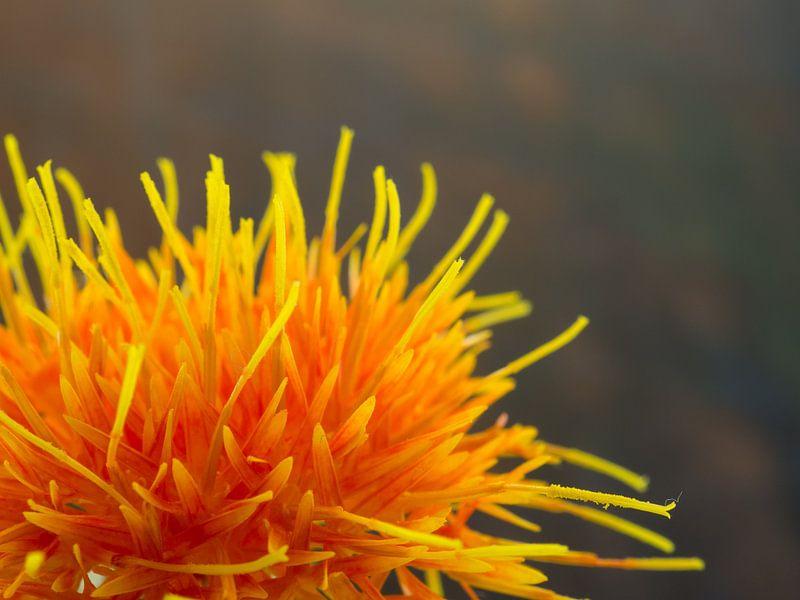 Saffloer oranje bloem van Margreet van Tricht