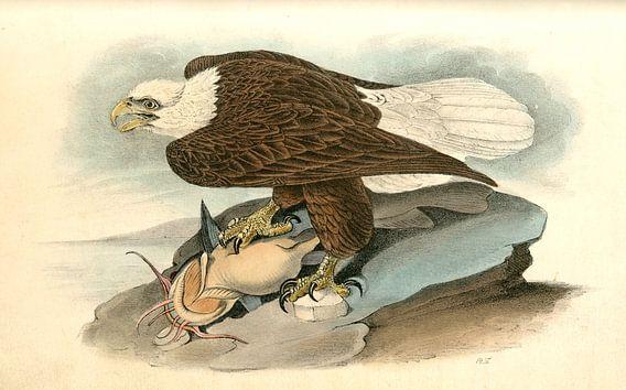 Adelaar, White-headed Sea Eagle, or Bald Eagle., Audubon, John James, 1785-1851