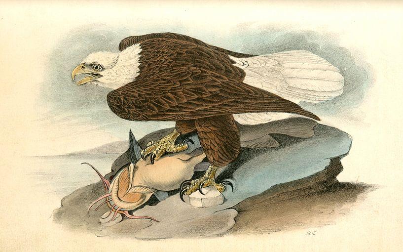 Adelaar, White-headed Sea Eagle, or Bald Eagle., Audubon, John James, 1785-1851 van Liszt Collection