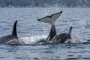 De staarten van de orka's
