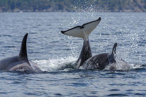 De staarten van de orka's van