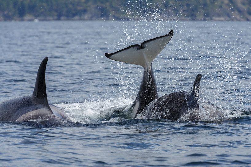 De staarten van de orka's van Menno Schaefer